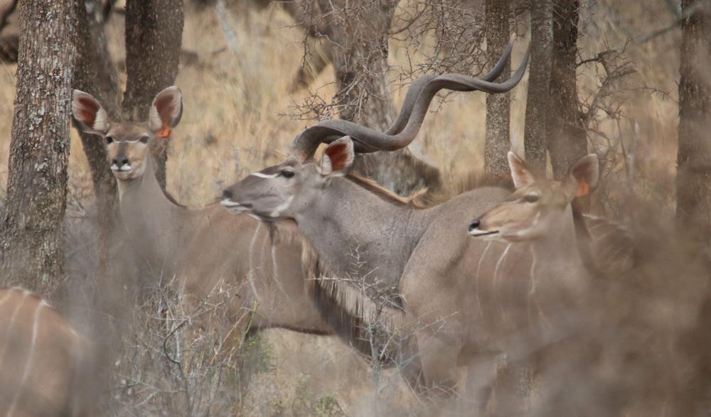 HUNTING-pic-31-kudu