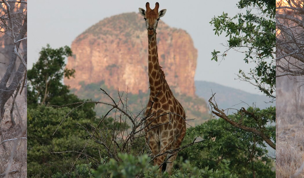 HUNTING-pic-36-giraffe